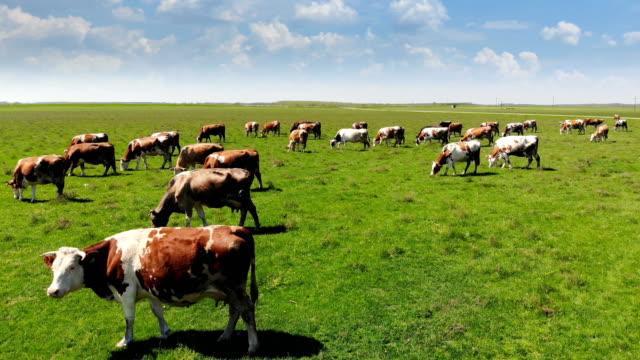 kühe auf der weide - ranch stock-videos und b-roll-filmmaterial