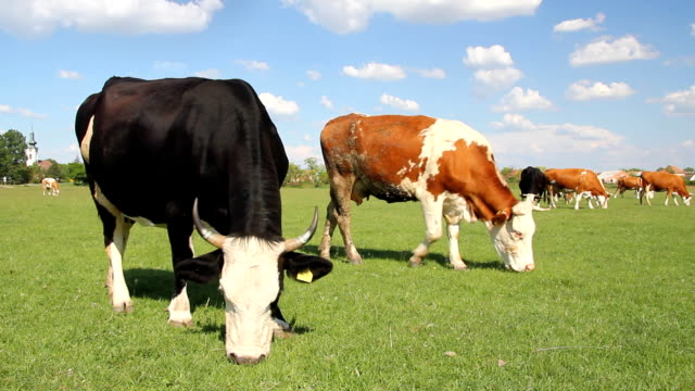 Cows grazing on pasture video
