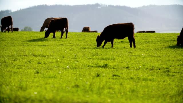 牛の牧草地に放牧地 - 牧畜場点の映像素材/bロール