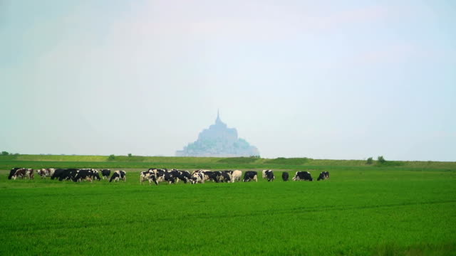 Cows grazing Cows on the Field, in background Mont St. Michel Abbey. France.   normandy stock videos & royalty-free footage