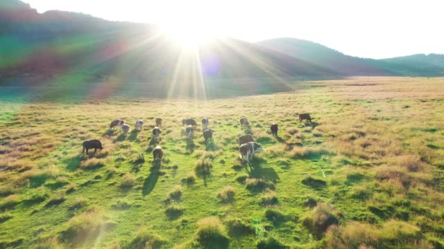 Cows in a field, aerial view Cows are grazing in the meadow paddock stock videos & royalty-free footage