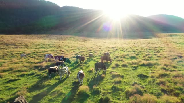 Cows in a field, aerial view