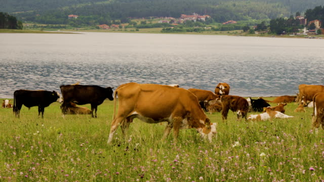 Cows in a meadow eating grass in front of a lake and mountain