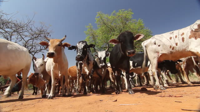 Cows In Africa Stop When They See Camera Low Angle
