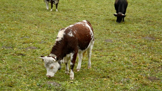 kühe auf der almwiese bei monte rosa im herbst - kieferngewächse stock-videos und b-roll-filmmaterial
