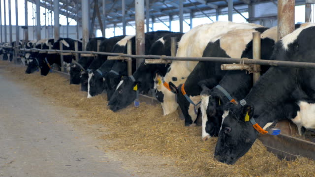 cows in farm barn eating hay. cow farm indoors - giovenca video stock e b–roll