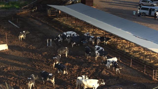 cows in farmyard - drone shot - nabiał filmów i materiałów b-roll