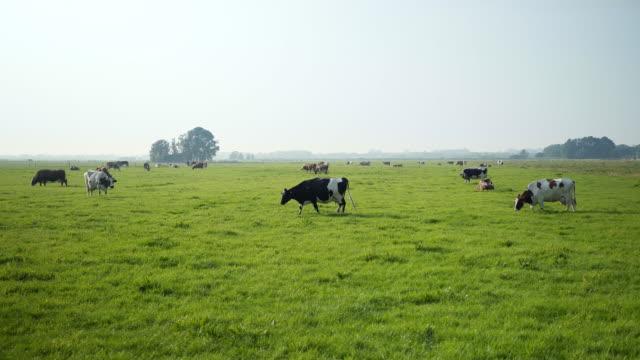 vídeos de stock e filmes b-roll de cows in grass field - gado doméstico