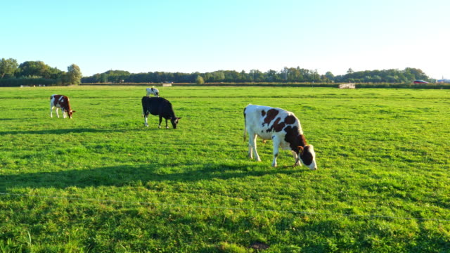 cows  in green meadow.