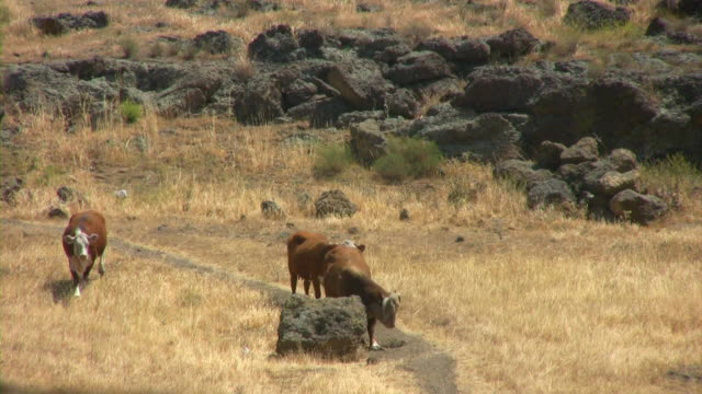 Cows in June V.2 (HD) A cow scratching itself on a rock.(1080i source) 笹 stock videos & royalty-free footage