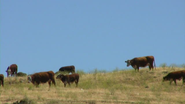 Cows in June (HD) Cows grazing in a field.(1080i source) 笹 stock videos & royalty-free footage