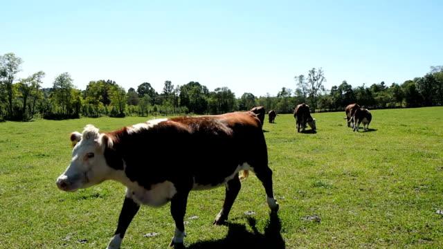 牛のパスチュア ビデオ