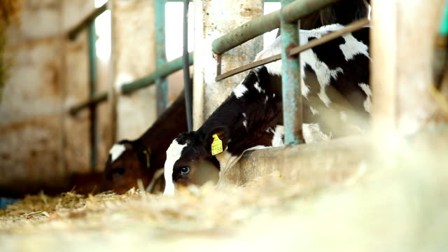 Cows In Stable Eating video