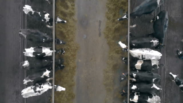 cows in stalls in a byre, top view. - ранчо стоковые видео и кадры b-roll