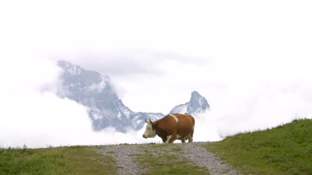 Cows in the alps video
