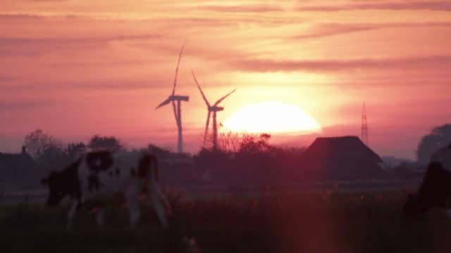 cows in the dawn - żywy inwentarz filmów i materiałów b-roll