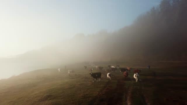 kor på den nederländska landsbygden under en dimmig morgon. 4k - nederländerna bildbanksvideor och videomaterial från bakom kulisserna