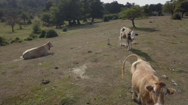Cows in the field Cows in the field pasture stock videos & royalty-free footage
