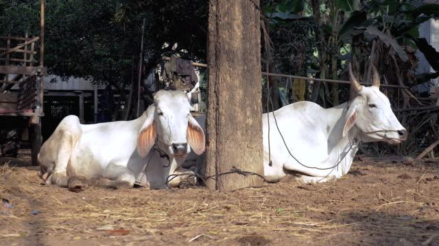 mucche sdraiato e ruminando in una della fattoria - giovenca video stock e b–roll