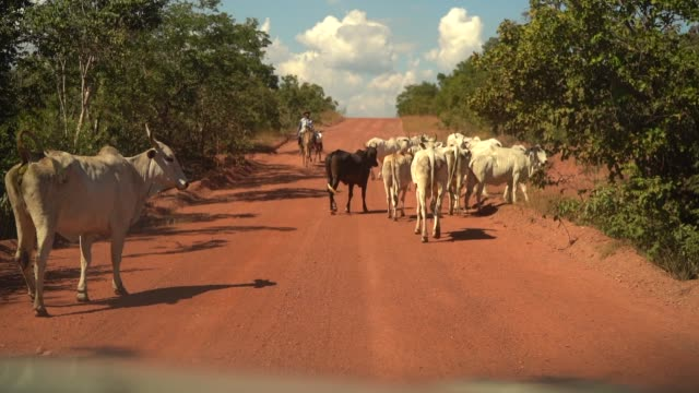 Cows moving in countryside road in Brazil