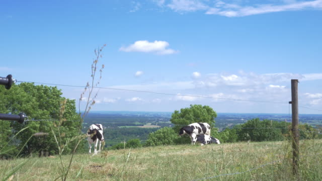 Cows on a meadow in Sweden. video