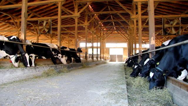 Cows on Farm Feeding Cows on Farm. Modern farm with fan barns stock videos & royalty-free footage