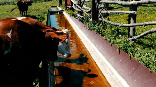 cows on grazing.various large and small cows drink water from huge iron trough filled with water. thirst for cattle. - mandriano video stock e b–roll