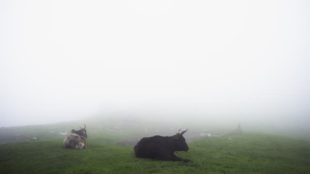kühe am berghang an nebeligen tag - himachal pradesh stock-videos und b-roll-filmmaterial