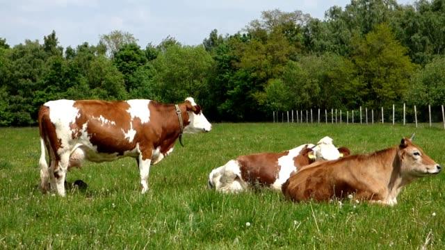 mucche al pascolo - giovenca video stock e b–roll