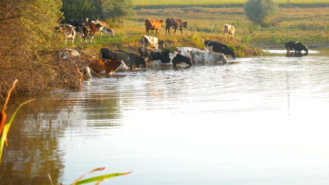 Cows on river. Cows Drinking In The Water Of River. cows drink water. video