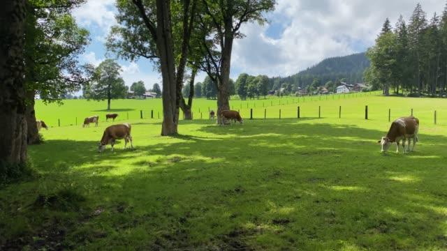 cows on the pasture in ramsau am dachstein, austria. - styria filmów i materiałów b-roll