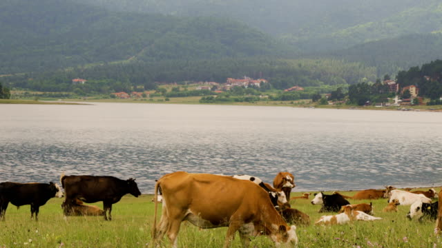 cows resting in a green field near lake