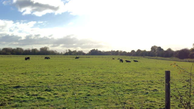 Cows resting in distance on green grass of pastry video