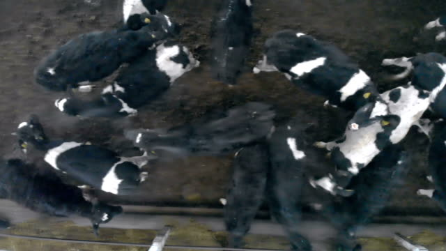 Cows standing in a byre, top view.
