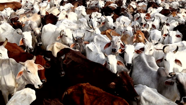 Cows Standing in Cowshed video