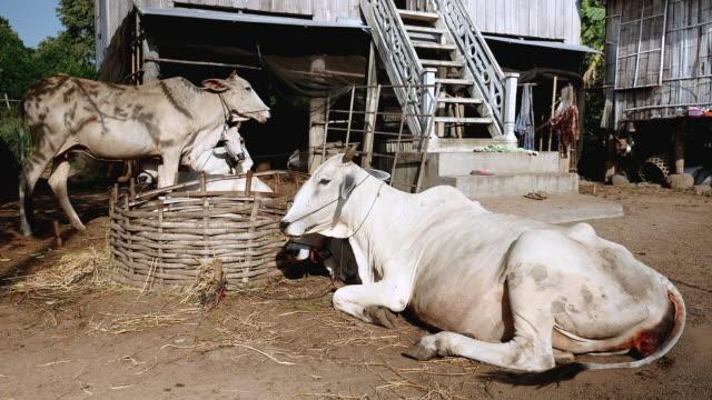 mucca in piedi o sdraiato in un della fattoria - giovenca video stock e b–roll