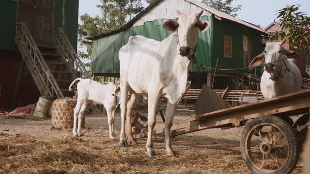 le mucche legato con corda in un campagnoli e vitello da latte di latte con la sua mamma - giovenca video stock e b–roll