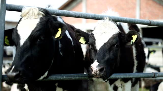 vidéos et rushes de les vaches - vache laitière