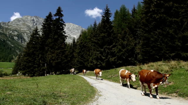 Cows walking home, on the Italian Dolomites video