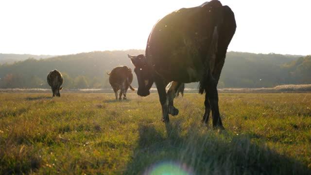 vidéos et rushes de vaches marchant à travers le grand champ avec le beau paysage de campagne à l'arrière-plan. troupeau de bétail broutant sur les pâturages. scène rurale scénique. concept agricole. vue de retour au ralenti - vache laitière