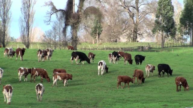 Cows Walking video