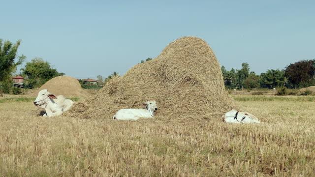 mucche con i polpacci sdraiato in un campo da una pila di fieno - giovenca video stock e b–roll