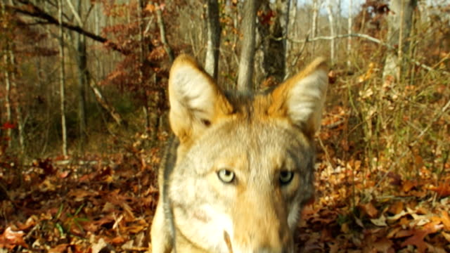 vídeos de stock e filmes b-roll de coyote ataque - coiote