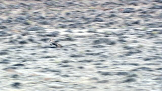 vídeos de stock e filmes b-roll de perseguições coiote antílope-vista aérea-wyoming, condado de carbono, estados unidos - coiote