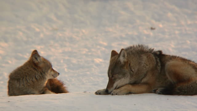 coyote couple in winter Coyote couple taking it easy at sunset. Shot with 300mm nikon prime lens mammal stock videos & royalty-free footage