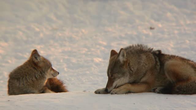 vídeos de stock e filmes b-roll de coyote casal no inverno - coiote
