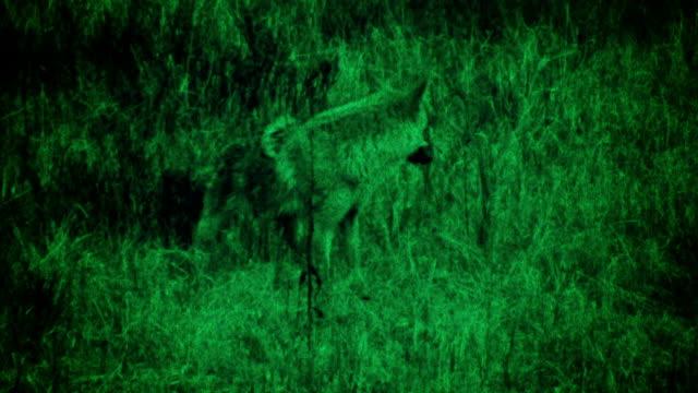 vídeos de stock e filmes b-roll de coyote comer rapina - coiote