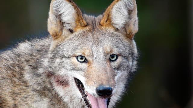 vídeos de stock e filmes b-roll de coyote olhos - coiote