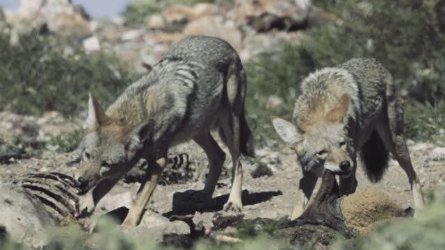 vídeos de stock e filmes b-roll de coyote feeding on corpse - coiote