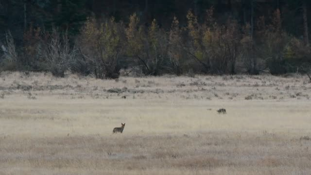 A Coyote Howling in a Mountain Meadow